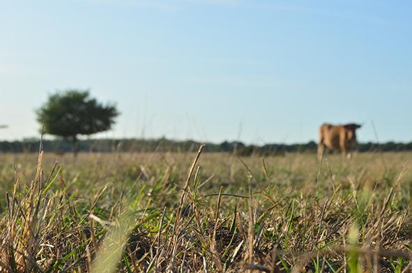 sécheresse en élevage