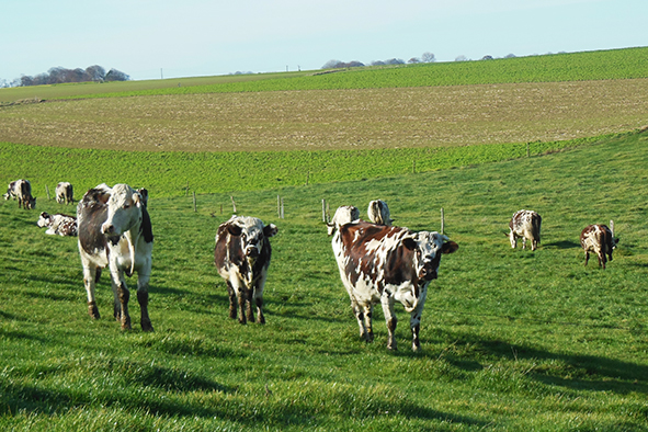 vaches paturage